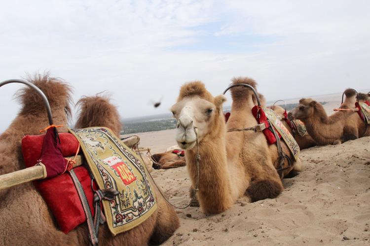 可爱的骆驼